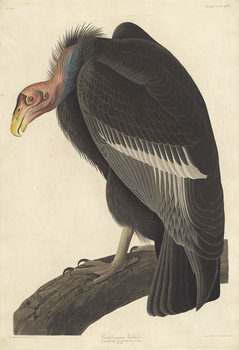 Fine Art Print Californian Vulture, 1838