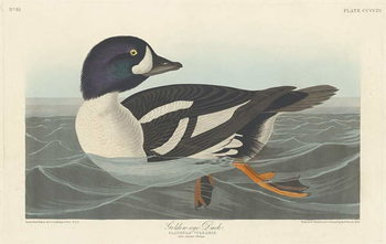 Fine Art Print  Golden-eye Duck, 1836