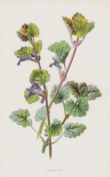 Fine Art Print Ground-Ivy