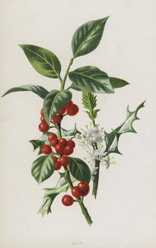 Fine Art Print Holly