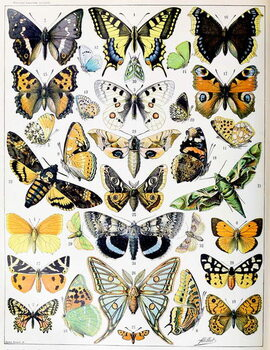 Fine Art Print Illustration of  Butterflies and Moths c.1923