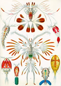 Fine Art Print Illustration of  Copepods,  c.1909