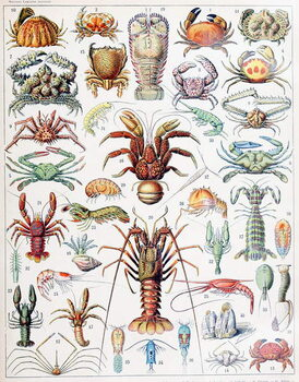 Fine Art Print Illustration of Crustaceans c.1923