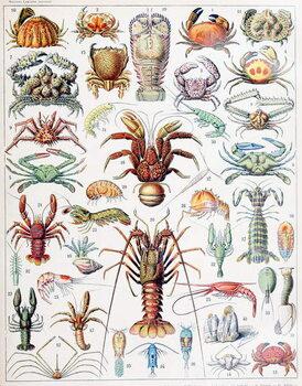 Fine Art Print Illustration of Crustaceans c.1923