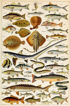 Fine Art Print Illustration of Edible Fish, c.1923