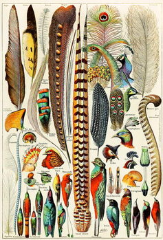Fine Art Print Illustration of feathers and birds c.1923