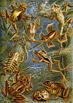 Fine Art Print Illustration of  Frogs and Toads c.1909