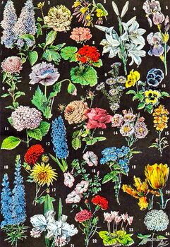 Fine Art Print Illustration of garden flowers c.1923