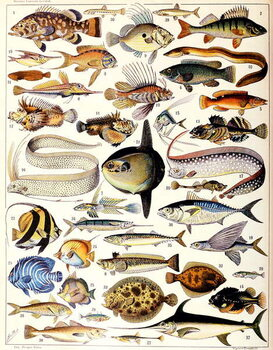 Fine Art Print Illustration of Marine Fish c.1923