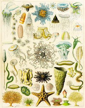 Fine Art Print Illustration of Marine organisms c.1923