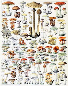 Fine Art Print Illustration of Mushrooms  c.1923