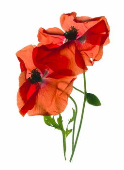 Fine Art Print Margie's Poppy Duo,2012,