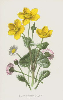 Fine Art Print Marsh Marigold and Daisy