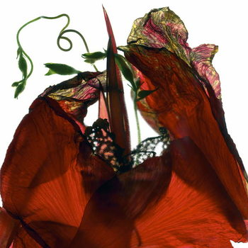 Fine Art Print Morning Glory Canna Red