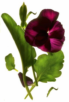 Fine Art Print Pansy Purple, 2014,