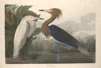 Fine Art Print  Purple Heron, 1835