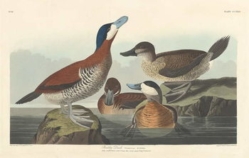 Fine Art Print  Ruddy duck, 1836