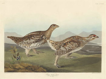 Fine Art Print Sharp-tailed Grous, 1837
