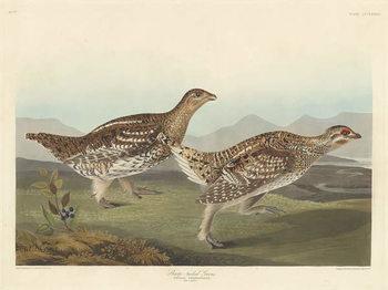 Fine Art Print  Sharp-tailed Grous, 1837
