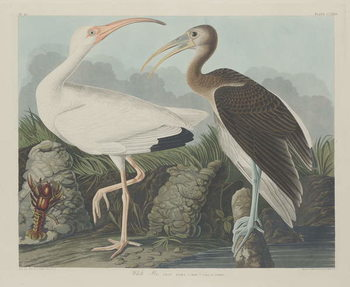 Fine Art Print  White Ibis, 1834