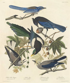 Fine Art Print Yellow-billed Magpie, Stellers Jay, Ultramarine Jay and Clark's Crow, 1837