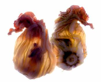 Fine Art Print Zucchini Blossom Duo, 2009,