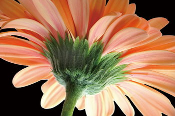 Glass Art Gerbera - Orange