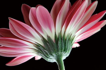 Glass Art Gerbera - Pink