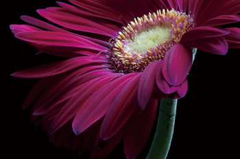 Glass Art Gerbera - Purple