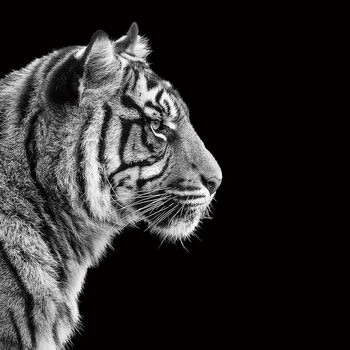 Glass Art Tiger - Head b&w