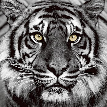Glass Art Tiger - Yellow Eyes b&w