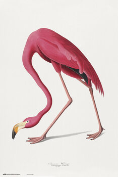 Juliste American Flamingo
