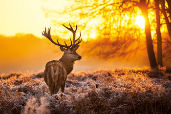 Juliste Golden Stag