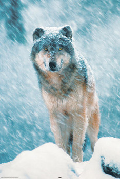 Juliste Grey wolf