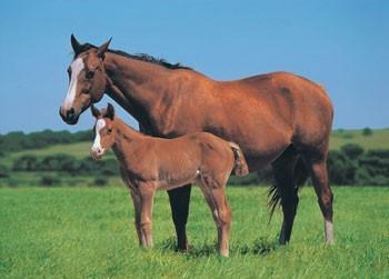 Juliste Horse & Foal
