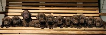Juliste Keith Kimberlin - chocolate labradors