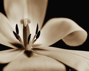 Juliste Kukkia - tulppaani