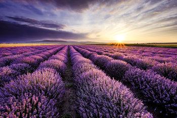 Juliste  Lavendar Field Sunset