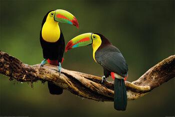 Juliste Linnut - Toucan