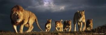 Juliste Lions pride - steve bloom