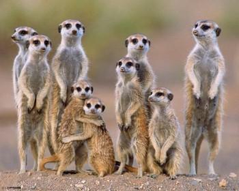 Juliste Meerkats - family