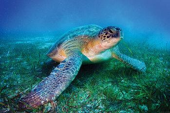 Juliste Merikilpikonna