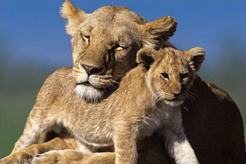 Juliste Mother and cub