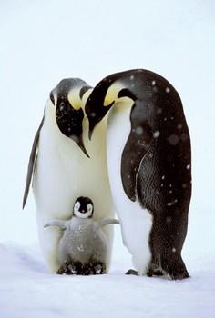 Juliste Penguin family