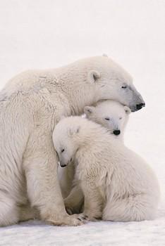 Juliste Polar bear family
