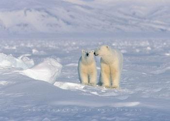 Juliste Polar bear