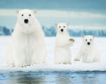Juliste Polar Bears