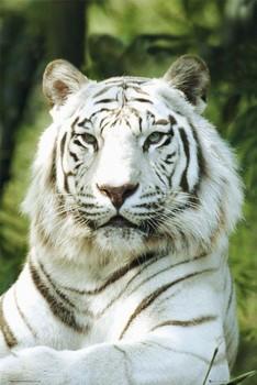 Juliste Siberian tiger - gb