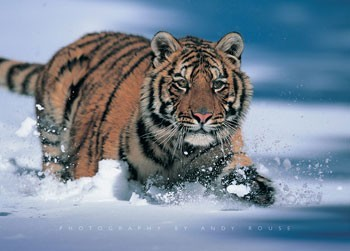 Juliste Siberian tiger