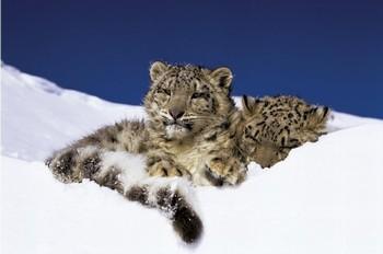 Juliste Snow leopards